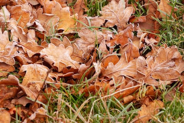 Suche zwiędłe liście dębu na ziemi pokryte białym szronem