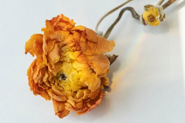 Suchy jaskier pomarańczowy na szarym tle