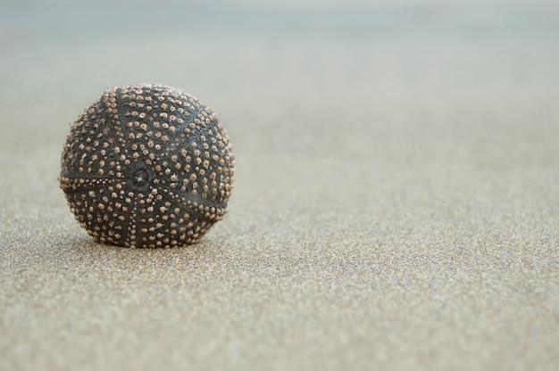 Suchy jeżowca, na piaszczystej plaży.