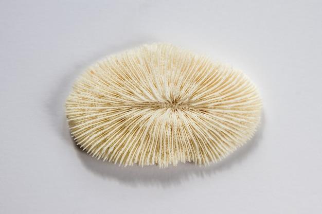 Suchy koral na białym tle