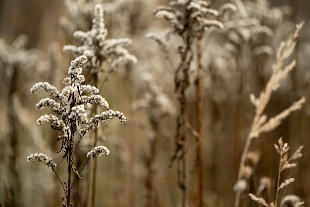 Suchy kwiat nawłoci na naturalnej powierzchni jesiennego pola