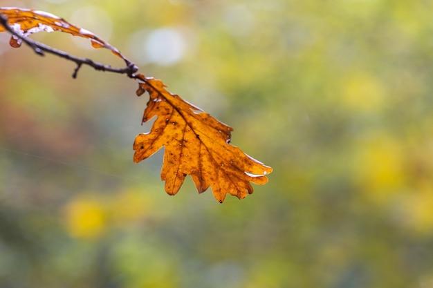 Suchy liść dębu leśnego na drzewie na rozmytym tle