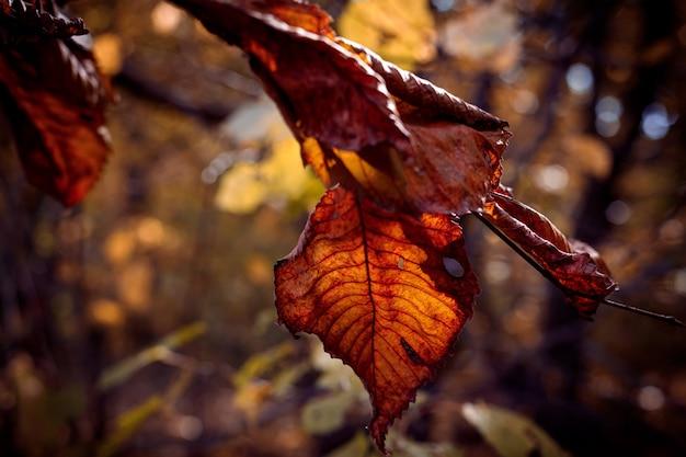 Suchy liść olchy na gałęzi w świetle słońca piękne niewyraźne jesienne tło