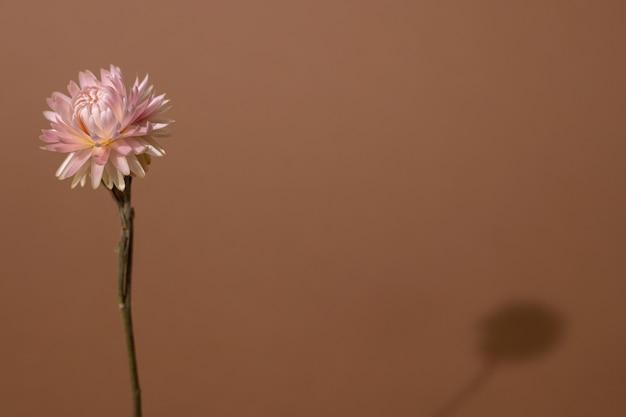 Suchy różowy kwiat z ciemnym cieniem na jasnobrązowym odcieniu.