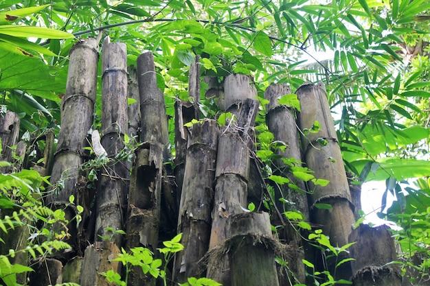 Suchy zielony bambus w środku lasu