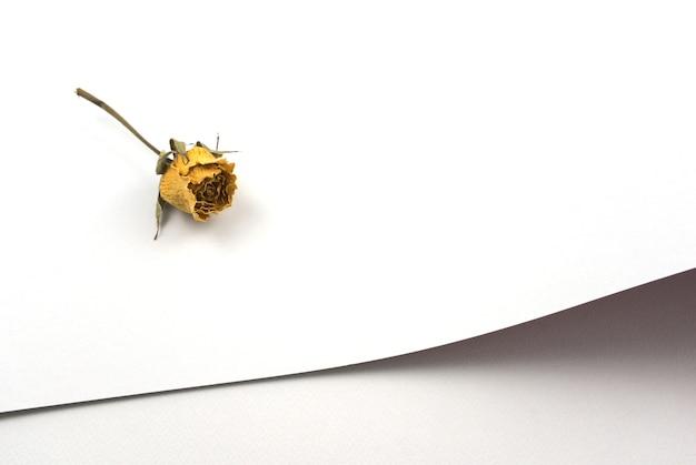 Suchy żółty kwiat róży na pustym białym papierze tekstury abstrakcyjne tło