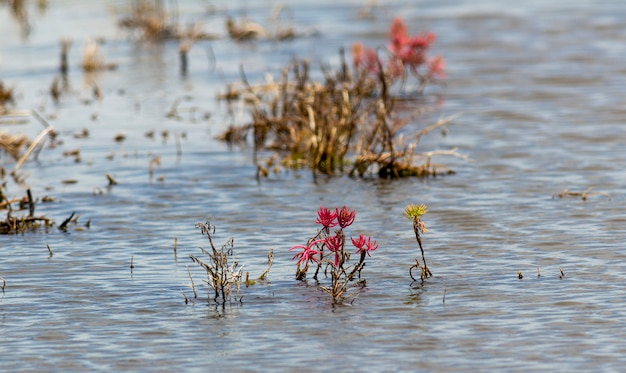 Sueda maritima, roślina leśna mangrowe