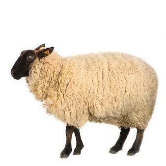 Suffolk owce przed białym tłem