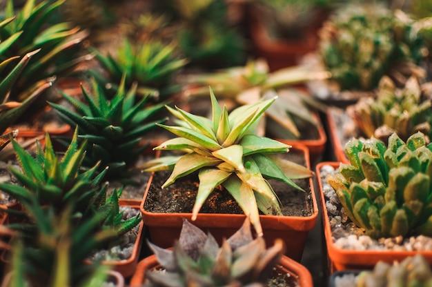 Sukulenty, echeveria kalanchoe soczyste rośliny domowe.aloe ostifolia to soczysta roślina zielna, gatunek z rodzaju aloe z rodziny asphodelaceae, koncepcja rośliny doniczkowej do dekoracji.