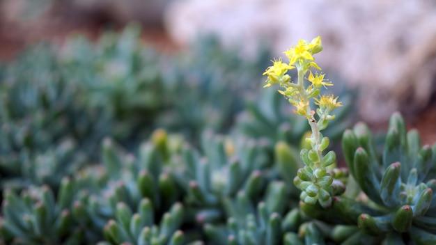 Sukulenty lub kaktus w pustynnym ogródzie botanicznym z piaskiem drylują tło.