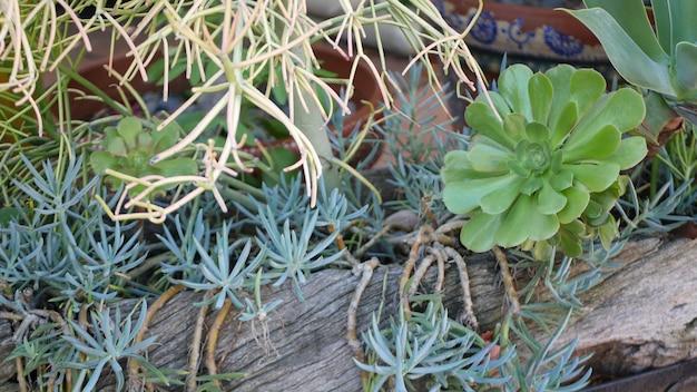 Sukulenty w doniczce, ogrodnictwo w kalifornii w usa. rośliny zielone w kolorowych glinianych doniczkach. projekt ogrodu w stylu meksykańskim, sucha pustynia ozdobna kwiaciarnia. naturalna zieleń botaniczna ozdobna