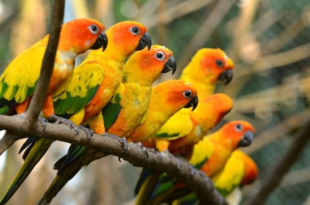 Sun conure parrot na gałęzi drzewa