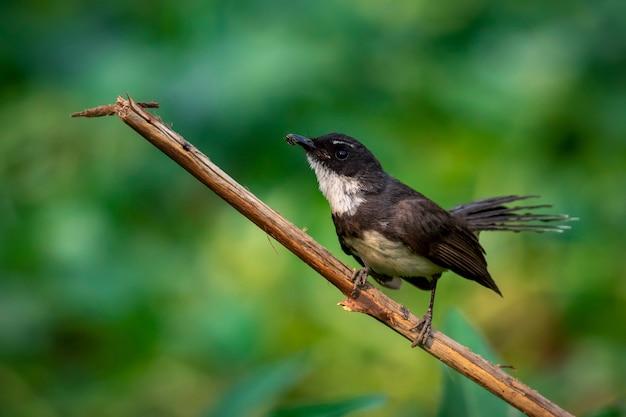 Sunda pied fantail lub malezyjski pied fantail (rhipidura javanica) na gałęzi. ptak. zwierząt.