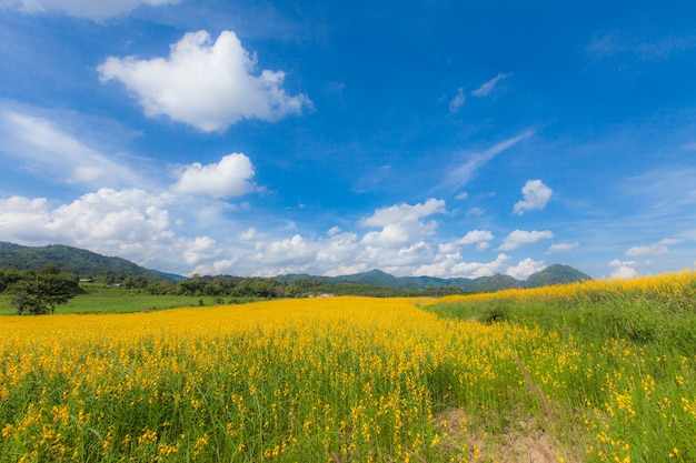 Sunhemp kwiatu pola okwitnięcia krajobraz