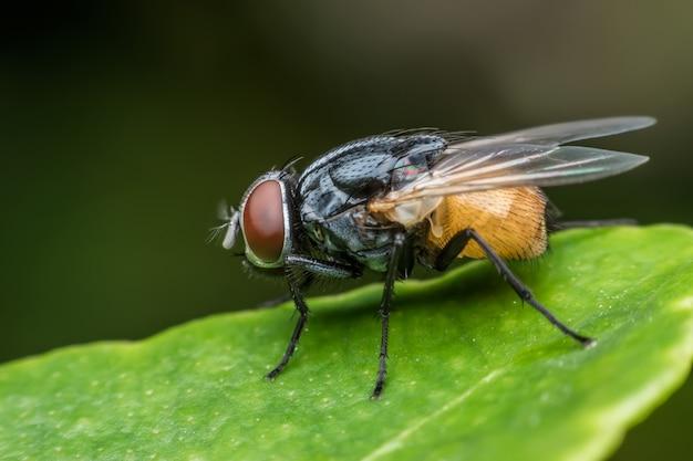 Super makro housefly na zielonym liściu
