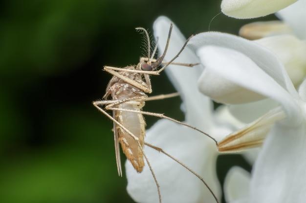 Super makro-męski komar na białym kwiacie