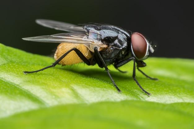 Super makro musca domestica lub housefly na zielonym liściu