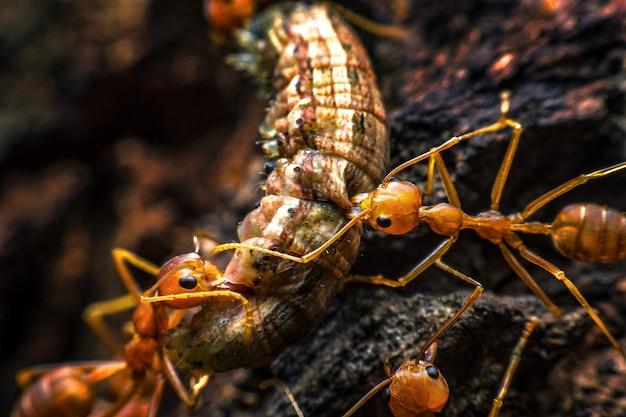 Super makro obraz grupa mrówek przenosi robaki spożywcze.