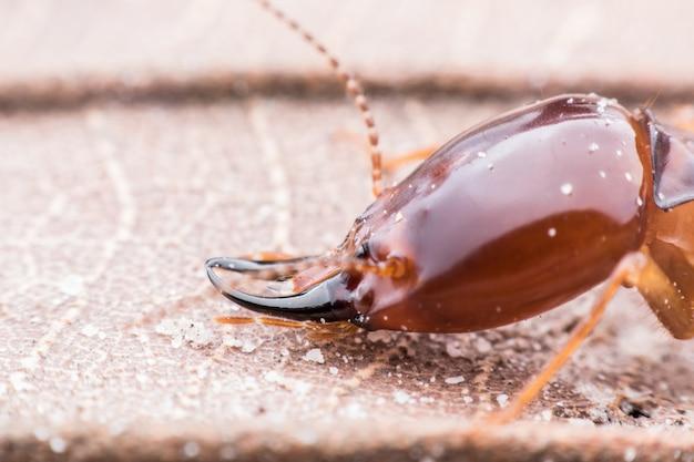 Super makro strzał głową termitów spaceru na suszonych liści