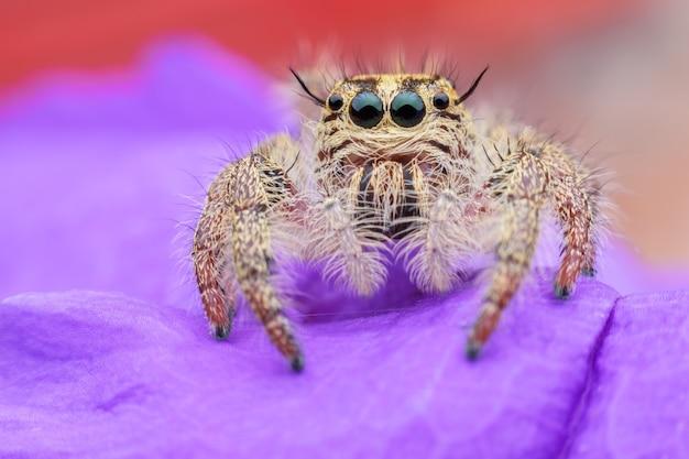 Super makro żeńska hyllus diardi lub skokowy pająk na purpurowej ruellia tuberosa
