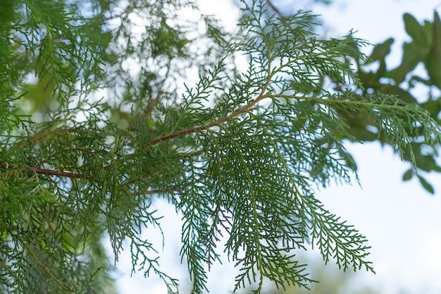 Super zamknięcie liści davallia fejeensis z pełnym tłem liści z pochmurnym niebem