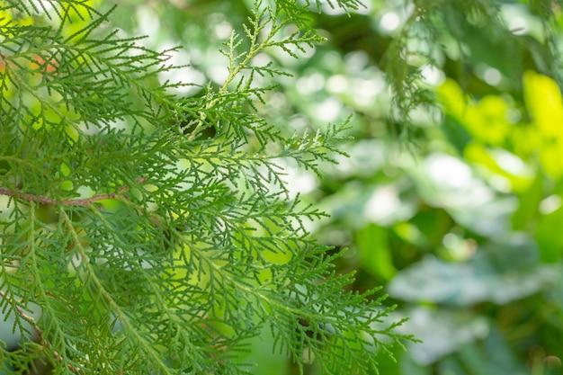 Super zamknięcie liści davallia fejeensis z pełnym tłem liści