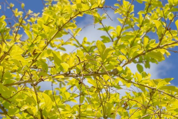 Super zbliżenie rosnącej duranty wyprostowanej z niebieskim niebem w tle
