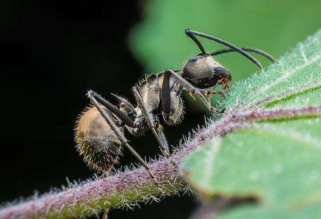 Supermacro mrówka jedząca na łodydze