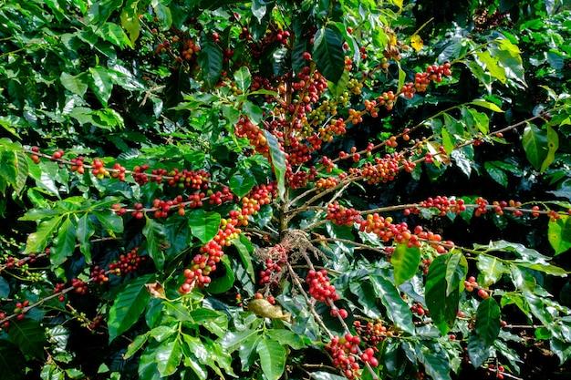 Surowe czerwone wiśnie kawy na gałęzi drzewa coffea w plantacji kawy w górach highland w chiang rai w tajlandii.
