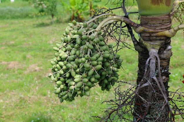 Surowe nasiona palmy manila na drzewie, veitchia merrillii.