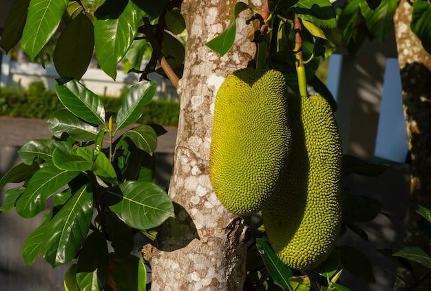 Surowe owoce chlebowca na pniu drzewa
