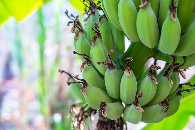 Surowe zielone banany z drzew bananowych