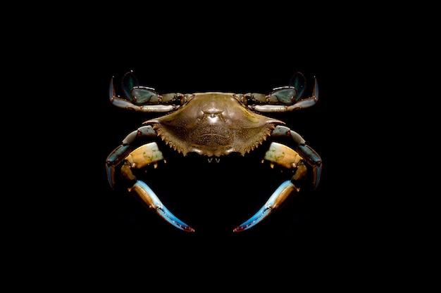 Surowy niebieski krab na ciemnym tle, owoce morza