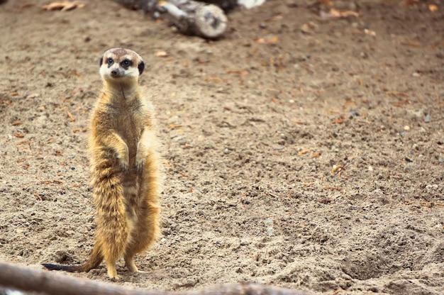 Surykatka lub suricate. na piasku stoi przerażona surykatka.