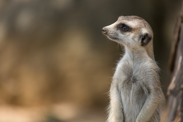 Surykatka lub suricate suricata suricatta jest małym drapieżnikiem należącym do rodziny mangusty