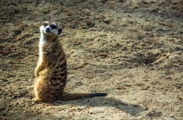 Surykatka lub suricate w zoo. na piasku stoi przestraszona surykatka