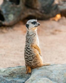 Surykatka słodka surikate znaleziona w zoo w australii