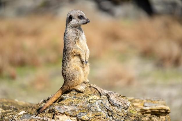 Surykatka, suricata suricatta lub suricate jest małym drapieżnikiem w rodzinie mangusty. jest to jedyny członek rodzaju suricata