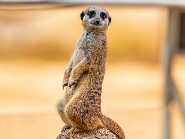 Surykatka (suricata suricatta) lub suricate to mała mangusta występująca w południowej afryce