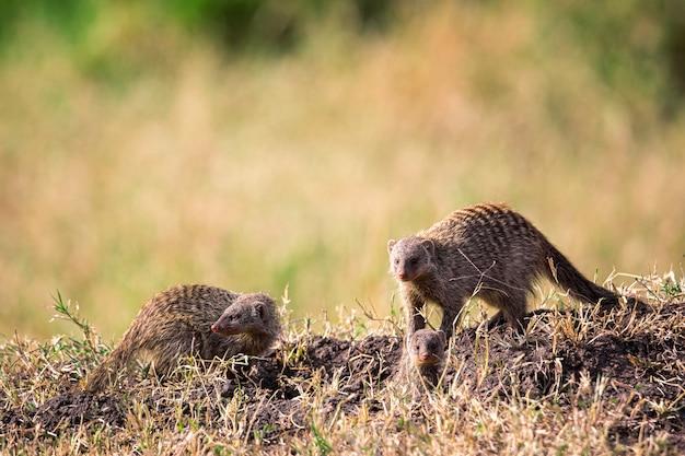 Surykatki lub suricata w parku narodowym masai mara. dzika przyroda kenii, afryka.