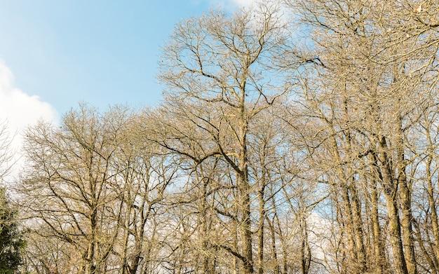 Susi drzewa las blisko nemi, włochy