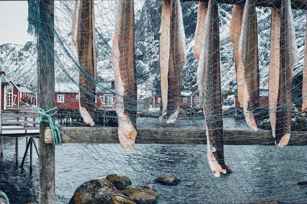 Suszenie dorsza sztokfisza w wiosce rybackiej nusfjord w norwegii