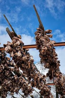 Suszenie głowic dorsza sztokfisza w wiosce rybackiej w norwegii