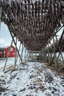 Suszenie płatków dla dorsza sztokfisza zimą. wyspy lofoty,