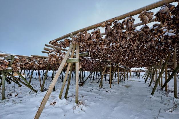 Suszenie płatków dla dorsza ze sztokfisza zimą. wyspy lofoty,