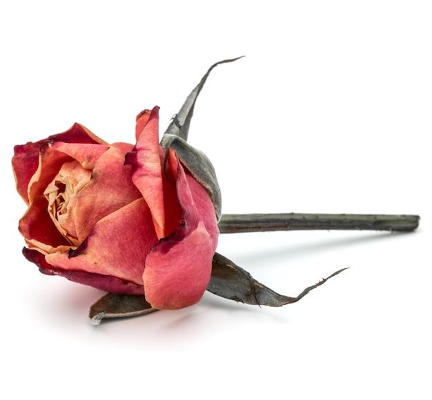 Suszona głowa kwiatu róży na białym tle na białym tle wyłącznik cut