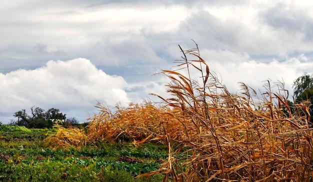 Suszona kukurydza w polu w pochmurny jesienny dzień. wiejski krajobraz jesienią