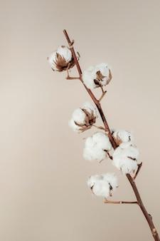 Suszona naturalna gałązka bawełny na beżowym tle