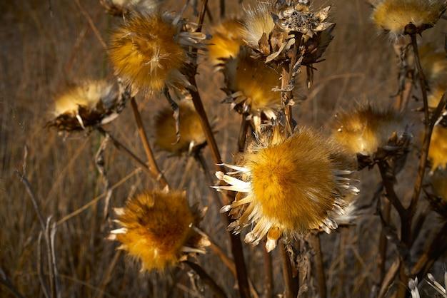 Suszona roślina oset w złotej łące