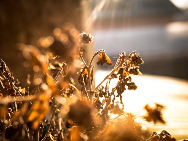 Suszona roślina po południu pod promieniami słońca.